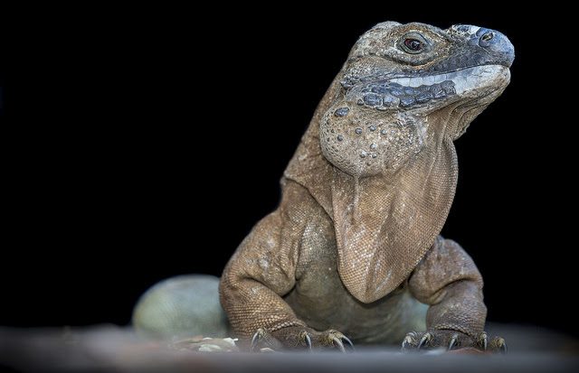 jamaican-iguana-by-rm